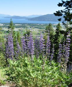 Mickinnick Trail flowering lupine